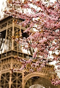 s_paris_eiffel_cherry_blossums